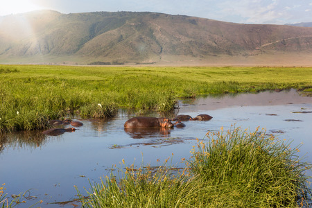 Hippo pool in Ngorongoro crater, Tanzania, Africa, Safari.