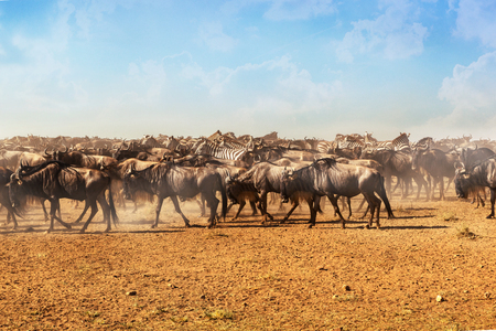 Large herds of wildebeest and zebra during migration season in Serengeti National Park, Tanzania.