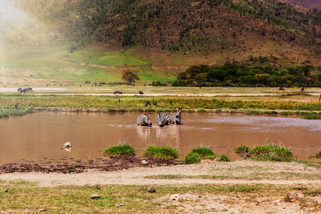 Several zebras drinking water from the waterhole. Serengeti National Park Tanzania Stock Photo