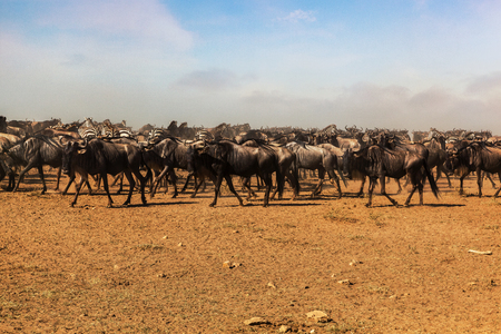 Migration of Wildebeest in the Serengeti National park, Tanzania. Safari.