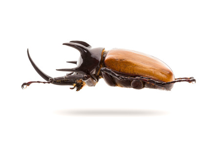 Five-horned rhinoceros beetle isolated on white background. Side view. Stock Photo