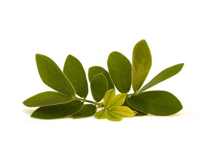 Cape jasmine leaves isolated on white background. 免版税图像