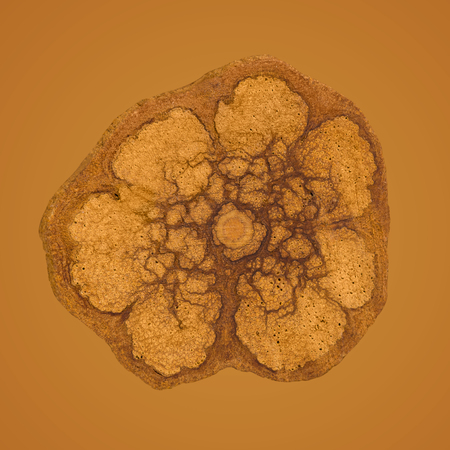 Ayahuasca wine cross section. Banisteriopsis caapi.