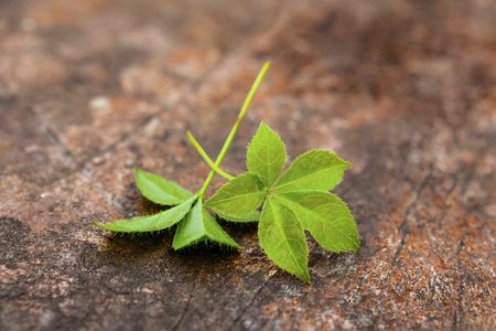 Jiaogulan ( gynostemma pentaphyllum) healthy medical plant.