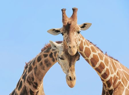Giraffe couple in love with blue sky on background Stock Photo - 3671921