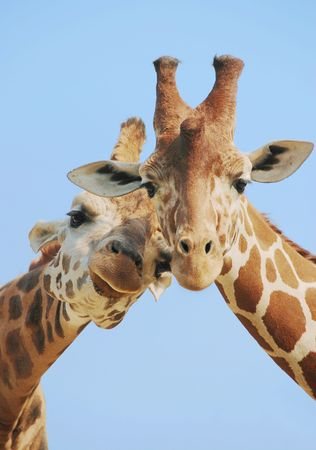 a pair: Giraffe couple in love with blue sky on background Stock Photo