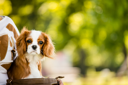 cavalier: Portrait of cavalier dog in nature with copy space Stock Photo