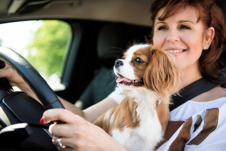 Mature woman and her cavalier dog together behind steering drive car Stock Photo