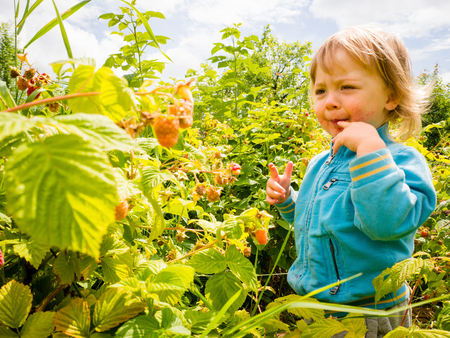 picking up: Little child picking up and eating raspberries in nature Stock Photo