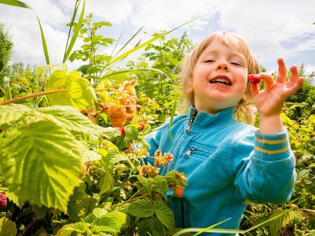 eating up: Little child picking up and eating raspberries with delicious gesture
