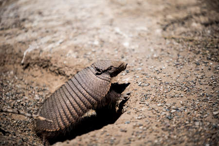 Desert Armadillo dwelling free in a natural national park in north Patagonia near the city of Puerto Madryn in Argentina.