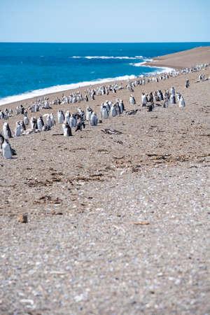 Colony of Magellanic Penguins (Spheniscus magellanicus) on Isla Magdalena in the Strait of Magellan, Chile.