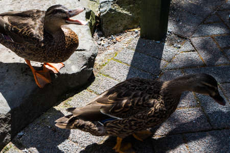Ducks on the pond in the park. ducks are reflected in the lake and living a wild life. Foto de archivo