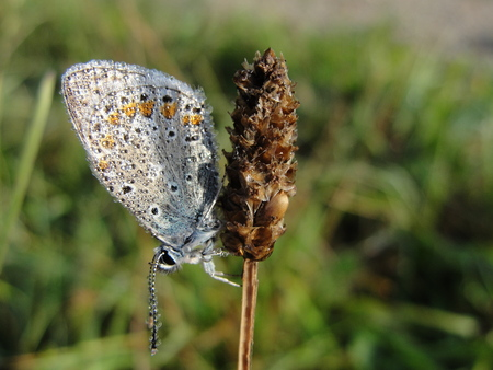 lycaenidae: Butterfly in morning dew Stock Photo