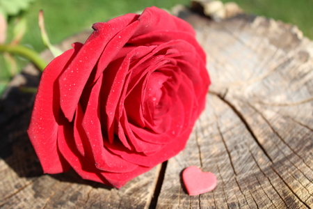 Rose petal with hearts Stock Photo