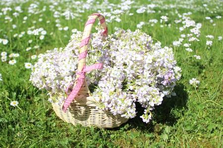 Meadow foam herb in the basket