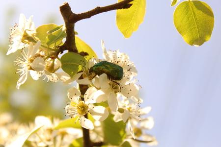 Rosenk?fer on a pear blossom