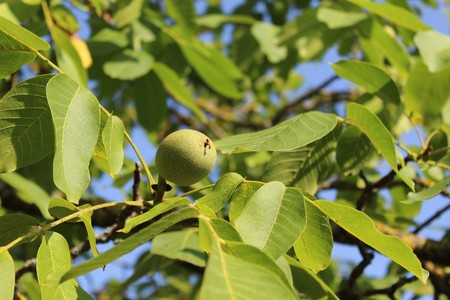 Walnuts on walnut tree