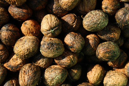 Freshly harvested walnuts Stock Photo