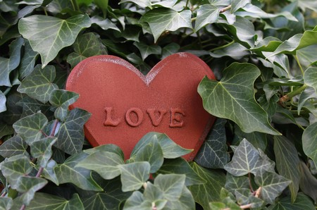 A love heart in the ivy