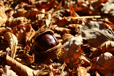 Chestnut in the autumn leaves Banque d'images
