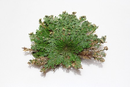 The Rose of Jericho