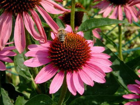 Bee on a sun flower