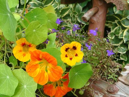 Nasturtium in the garden