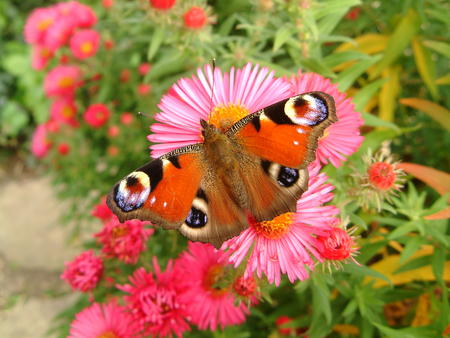 Peacock butterfly on an aster Stock Photo