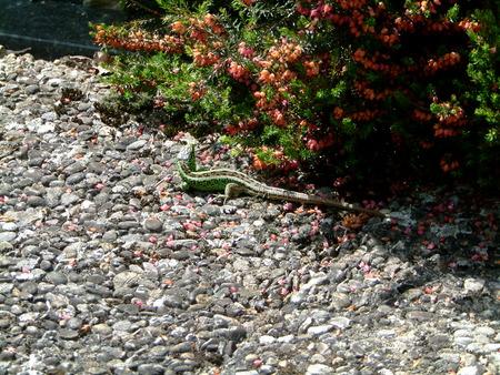 lizard Reklamní fotografie