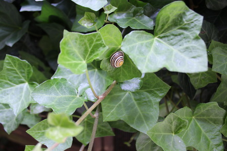 Snail shell in the ivy