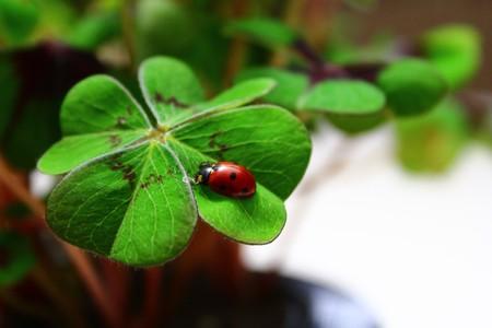 Ladybird on lucky clover