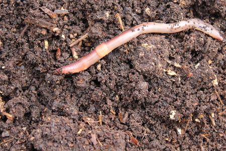 Earthworm in compost Standard-Bild - 117376428
