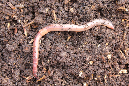 Earthworm in compost