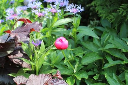 peony in the garden Stockfoto