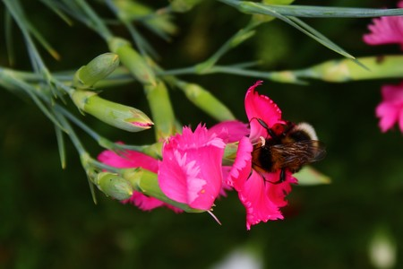 Bumblebee on a carnation Stock Photo