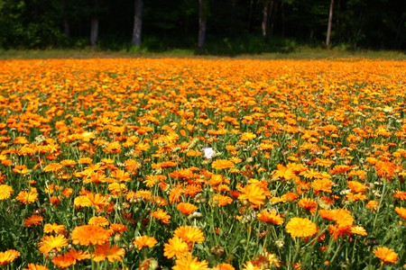 Marigold field Stockfoto