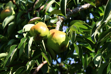 Pear on pear tree