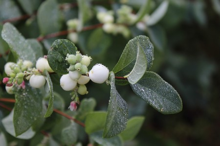 Snowberry after the rain Stock Photo