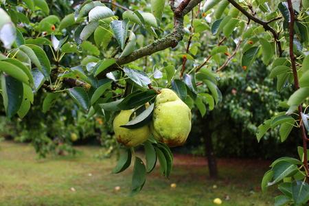 Pears on pear tree