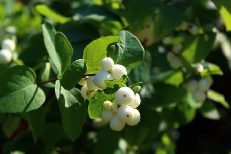 snowberry bush 스톡 콘텐츠