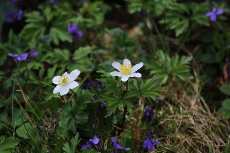 Anemones and violets Stock Photo