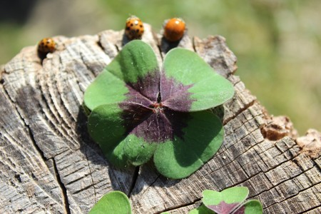 Lucky clover and ladybugs