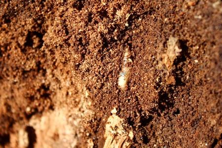 Larva in the wood