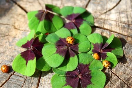 Lucky clover and ladybugs Banco de Imagens