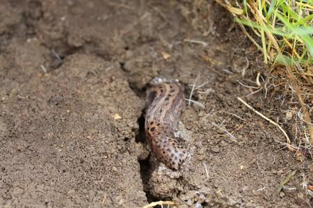 Tiger slug in the garden