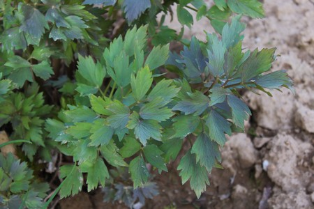 lovage in the garden