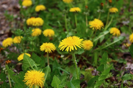 dandelion in the garden