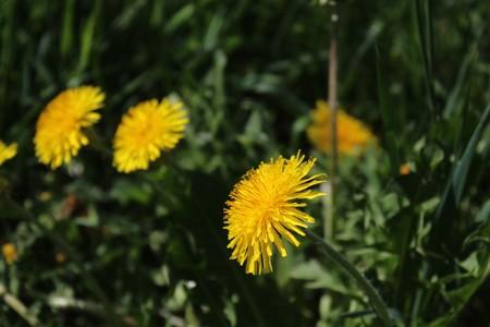 dandelion field in the garden