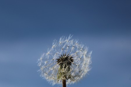 Dandelion in the front of the blue sky